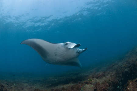 underbelly: The view of a mantaray swimming along a reef, Zavora, Mozambique