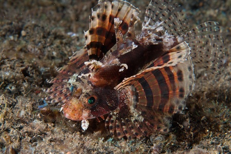 dragonfish: The view of a lionfish moving along the volcanic sand on the sea bed, Sulawesi, Indonesia