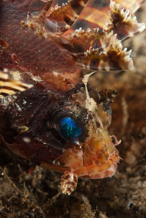 dragonfish: A close up on a lionfish on the sea bed, Sulawesi, Indonesia Stock Photo