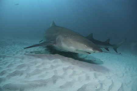 The view of lemon sharks swimming along the sea bed, Bahamas Stock Photo - 10928771