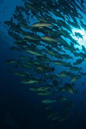 The underview of a school of Boha snappers, Red sea, Egypt photo