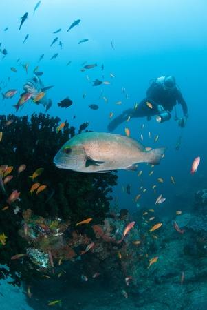 grunt: The view of a patterned grunt swimming by sea plants, Sodwana Bay, KwaZulu Natal