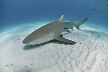 sharks: The view of a lemon shark swimming along the sea bed, Bahamas Stock Photo