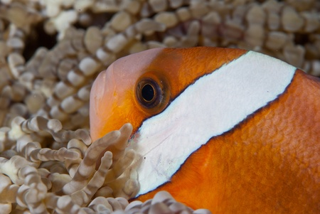 symbiotic: A close up on a clownfish in between anemones, Sulawesi, Indonesia Stock Photo