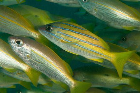 goatfish: A close up on a school of fish, KwaZulu Natal, South Africa Stock Photo