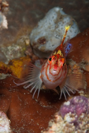 sulawesi: A close up on a hawkfish on coral, Sulawesi, Indonesia