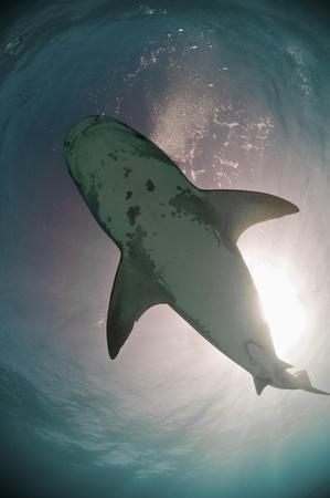 underbelly: La vista dal basso di uno squalo tigre con sunburst, Bahamas