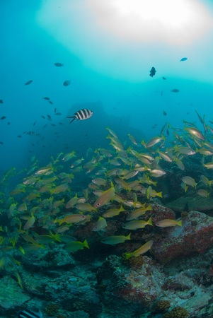 shoal: The view of a school of yellow snappers swimming along a general reef scene, Seychelles
