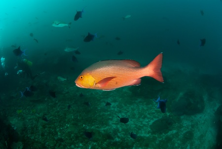 redfish: The view of a redfish swimming amongst a school of boha snappers, KwaZulu Natal, South Africa