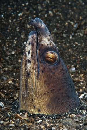 sulawesi: A close up on a black finned snake eel coming from out the sand, Sulawesi, Indonesia Stock Photo