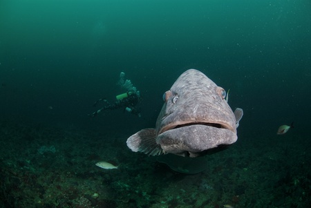 kwazulu natal: A close up on a potato bass swimming along a reef, KwaZulu Natal, South Africa Stock Photo