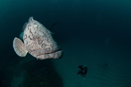 potato cod: A close up on a potato bass swimming, KwaZulu Natal, South Africa