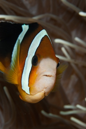 symbiotic: A close up on a clownfish with it Stock Photo