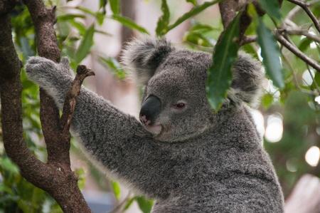 coala: Un primer plano de un oso koala sentado en una rama de un �rbol, Sydney, Australia