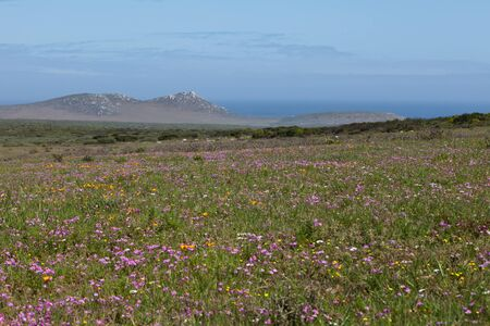 The view of a meadow full of colourful flowers, Western Cape, South Africa photo