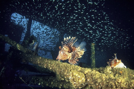 firefish: The view of a devil firefish swimming along a wreck, KwaZulu Natal, South Africa