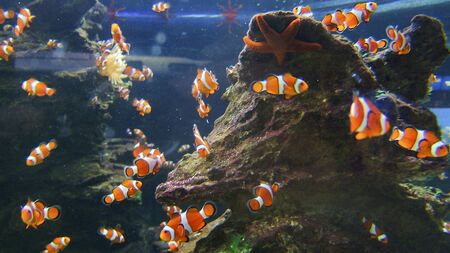 tank fish: The view of clownfish swimming around a rock, Cape Town, South Africa