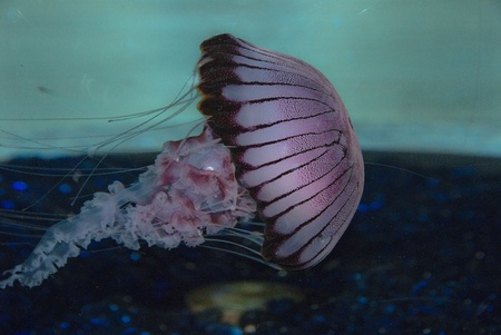aquaria: The side view of a jellyfish moving along, Cape Town, South Africa Stock Photo