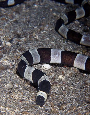 sea snake: The view of a sea snake on the sea bed searching for food, Raja Ampat, Indonesia