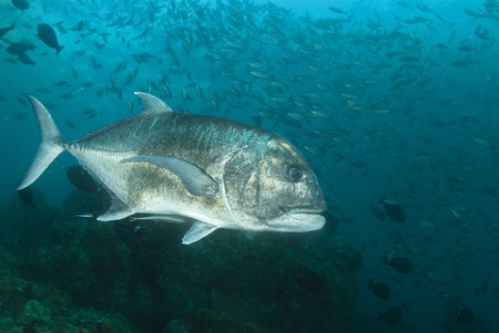 The view of a giant trevally with bannerfish swimming in the background, Raja Ampat, Indonesia photo