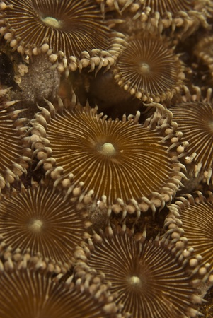 A close up on a Flat Disc Colony in the ocean of Mayu Island, Raja Ampat, Indonesia Stock Photo - 12324261