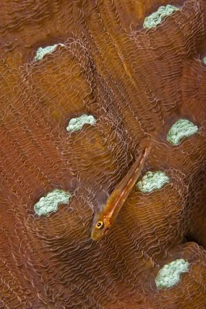 goby: Una stretta su una relazione molti-host goby su coralli molli, Bangka, Indonesia