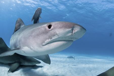Lemon and tiger sharks swimming along the sea bed, Bahamas photo