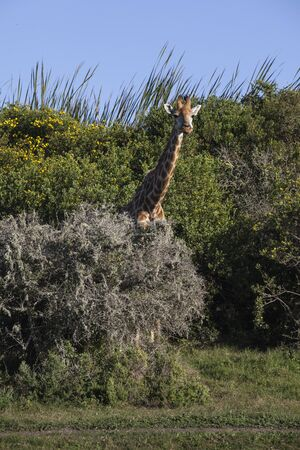 curiously: Giraffe peeking from behind a bush looking on curiously