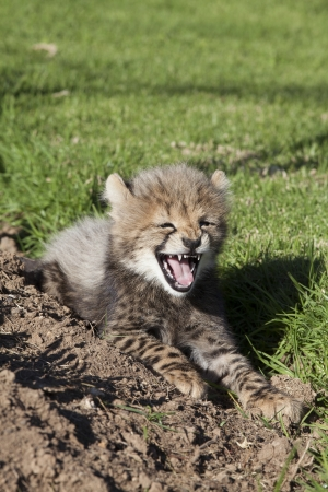 cheetah cub: Cheetah cub snarling cheekily Stock Photo