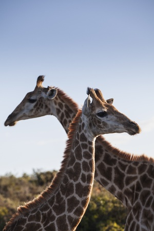 Portrait of Giraffe photo