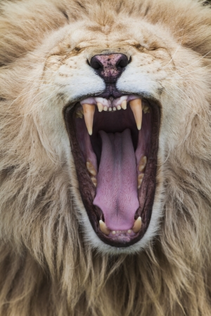dangerous lion: White lion exposing his teeth with a majestic yawn Stock Photo