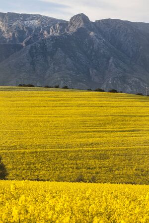 Rolling Canola Fields photo