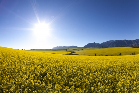fields of flowers: Morning Canola