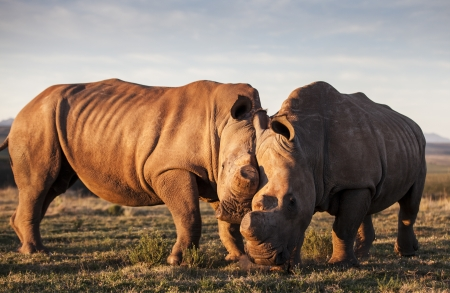 Rhinoceros Romance photo