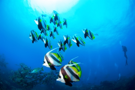 bannerfish: Schooling Coachmen