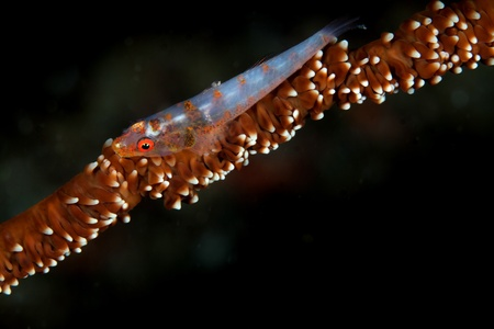 indo pacific: Seawhip Goby Stock Photo