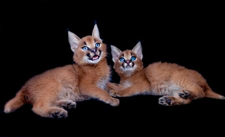 carnivora: Two caracal kittens