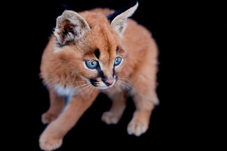 carnivora: Caracal kitten