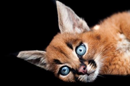 carnivora: Caracal Baby