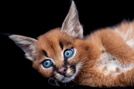 carnivora: One blue eyed caracal baby kitten Stock Photo