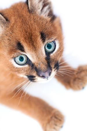carnivora: Caracal baby kitten