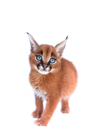 lince: Gatito bebé Caracal