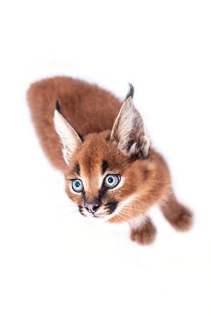 carnivora: Caracal baby cat