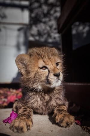 chita: Cachorro del guepardo que miente en flores de color rosa