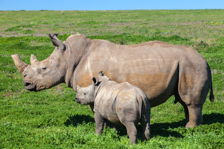 Rhino mother and calf standing in grass  photo