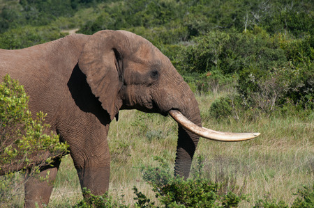 tusks: Elephant with long tusks in bush