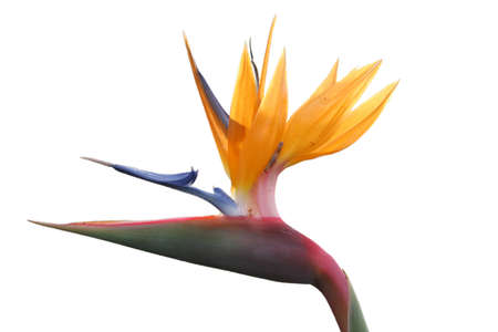 A bird of paradise flower isolated on white.