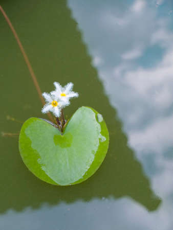 water lilly on the reflexion in the pond