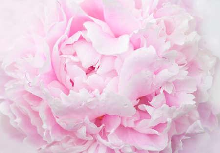 pastele pink peony petals macro