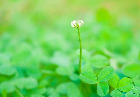 macro shot of small white clover flower standing alone in green field in spring